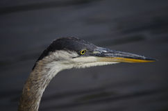 Great blue heron headshot Royalty Free Stock Photography