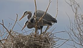 Https://www.dreamstime.com/stock-photography-man-work-image205552. Great Blue heron Heritage Park, lakewood Colorado Stock Photo