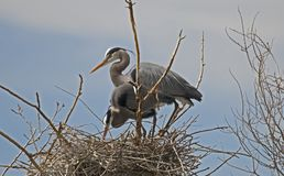 Https://www.dreamstime.com/stock-photography-man-work-image205552. Great Blue heron at Heritage Park, lakewood Colorado Stock Photos