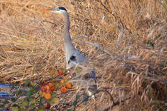 Great Blue Heron Hideout Stock Photography