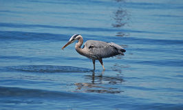 Great Blue Heron holding a fish in its beak Stock Photography