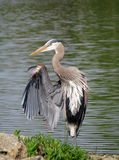 Great Blue Heron Holding Up One Wing. Portrait of a Great Blue Heron Ardea herodias standing with one wing lifted in front of a lake Stock Images