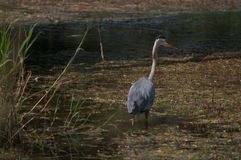 Great Blue Heron on the hunt, wading. royalty free stock photos