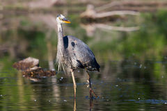 Great Blue Heron Hunting Stock Photos