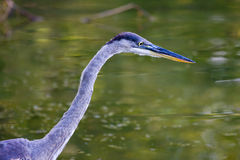Great Blue Heron Hunting. Royalty Free Stock Image