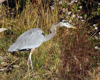 Great blue heron hunting. Along the river walks towards the water intent on something in the water Royalty Free Stock Images