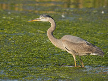 Great Blue Heron Hunting Stock Photography
