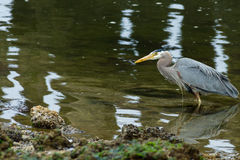 Great Blue Heron Hunting in Eelbed Stock Images