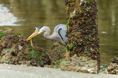 Great Blue Heron Hunting in Eelbed Royalty Free Stock Image
