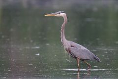 Great Blue Heron Hunting For Fish royalty free stock photo