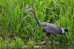 Great blue heron hunting fish by a lake Royalty Free Stock Photo