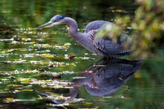 The Great Blue Heron Hunting for Food royalty free stock photo