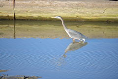 Great Blue Heron Hunting for Food Stock Photography