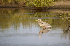 Great Blue Heron. Hunting in the Indian River near Titusville, Florida Royalty Free Stock Photography