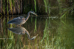 Great Blue Heron hunting Royalty Free Stock Photo