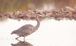 A great blue heron in hunting mode Stock Photography