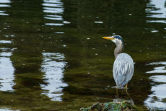Great Blue Heron Hunting for Prey Royalty Free Stock Image