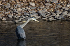 Great Blue Heron Hunting in a River Royalty Free Stock Photo