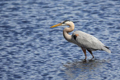 Great Blue Heron hunting in a saltwater marsh with blue water Stock Photography