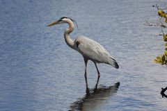 Great Blue Heron hunting in a saltwater marsh Royalty Free Stock Photography