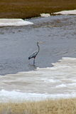 Great blue heron. The great blue heron hunts for food in the rivers of Yellowstone National Park Stock Photo
