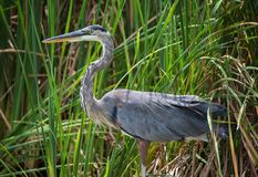 Great Blue Heron Laying In Ambush royalty free stock images