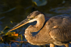 Great Blue Heron III Royalty Free Stock Photo