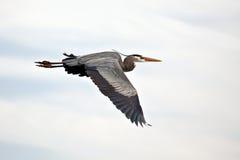 Great Blue Heron In Flight Stock Photo