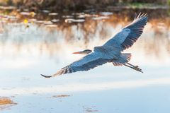 Free Great Blue Heron In Flight.Bombay Hook National Wildlife Refuge.Delaware.USA Stock Photo - 164705170