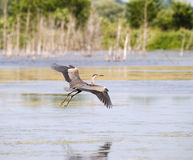Great Blue Heron In The Air Stock Photos