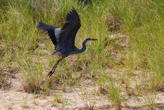 Great Blue Heron, Indiana Dune, USA. The Great Blue Heron's Flight at the Lake Michigan, Indiana, USA Stock Image