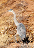 Great Blue Heron with Injured Leg. Image of a great blue heron standing on an injured left leg Stock Image