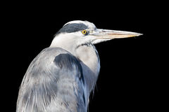 Great blue heron isolated Stock Photography