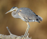 Great Blue Heron. Isolated on brown stock photo