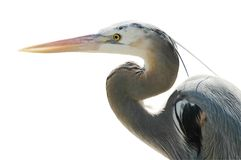 Great Blue Heron Isolated on White Royalty Free Stock Images