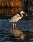 Great Blue Heron with its catch Royalty Free Stock Image