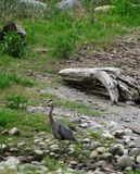 Great Blue Heron in its natural habitat Royalty Free Stock Photography