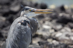 Great blue heron with its neck pulled in, Galapagos Royalty Free Stock Images