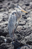 Great blue heron with its neck pulled in, Galapagos Stock Photos