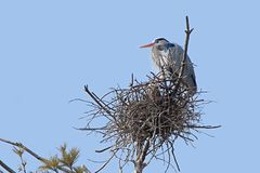 Great Blue Heron on its Nest. High in a pine tree and against a powder blue sky, a great blue heron prominently guards its nest. A second heron can be seen royalty free stock photography