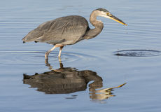 Great Blue Heron & its Reflection Royalty Free Stock Photography