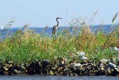 Great Blue Heron on jetty Stock Images