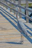 A Great Blue Heron on Jim Simpson Sr fishing pier, Harrison County, Gulfport, Mississippi, Gulf of Mexico USA.  royalty free stock photography