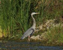 The Great Blue Heron. Just landed and is about to start looking for food at goose pond stock image