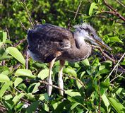 Great Blue Heron Juvenile (Ardea herodias) Royalty Free Stock Images