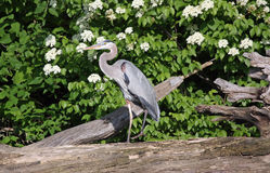 Great Blue Heron on a Lake Royalty Free Stock Image