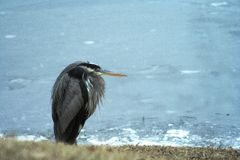 Great Blue Heron by Lake. A Great Blue Heron trying to stay warm by a lake Stock Photography