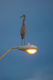 Great Blue Heron on  lamp post Stock Photography