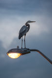 Great Blue Heron on  lamp post Royalty Free Stock Photos