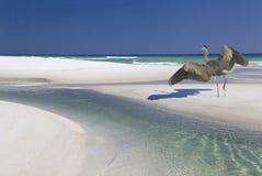 Great Blue Heron Landing on a Beautiful White Sand Beach Stock Photo